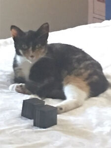LOST female Cat Caboolture Caboolture Area Preview