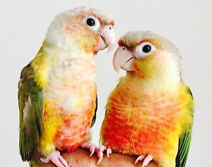 PINEAPPLE CONURE pair - 8 months old.