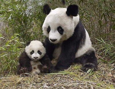 METAL MAGNET Panda Bear Mama Cub Baby Sitting On Ground MAGNET