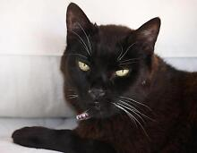 URGENT 2 x Cats (12 yo) need new loving home - great companions Greenwich Lane Cove Area Preview