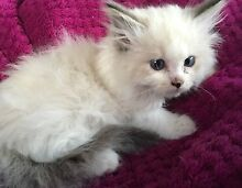 Adorable registered Ragdoll kittens Morisset Lake Macquarie Area Preview