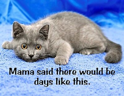 Gray Kitten (METAL MAGNET Gray Kitten Mama Said Would Be Days Like This Humor Cat MAGNET)