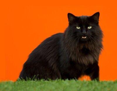 METAL REFRIGERATOR MAGNET Black Norwegian Forest Cat Orange Background Cats
