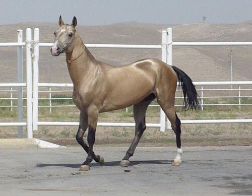 METAL MAGNET Tasirli Golden Akhal Teke Stallion Travel Turkmenistan Horse