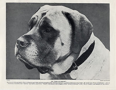 MASTIFF HEAD STUDY OF A NAMED CHAMPION OLD ORIGINAL DOG PRINT FROM 1934