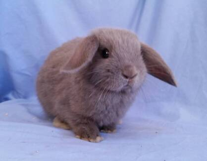 Beautiful Purebred Baby Mini Lop Rabbits - Vacc'd
