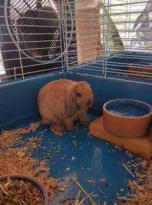 Pure bred mini lop rabbits from great lines - 12 weeks old Hackham Morphett Vale Area Preview
