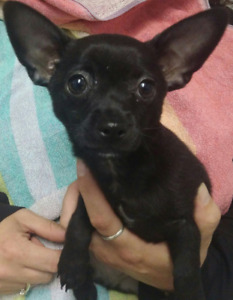 GORGEOUS, ADORABLE, ENERGETIC CHIHUAHUA PUPPIES FOR SALE!!!!!!!!