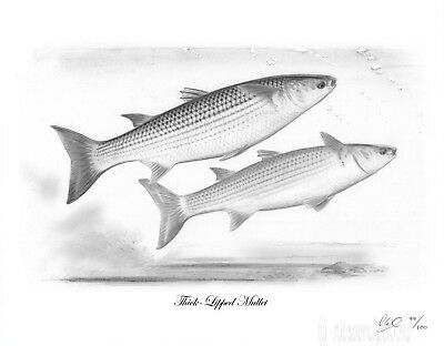 THICK LIPPED MULLET Fishing Fish Art Print Picture Present For Sea Angler NEW