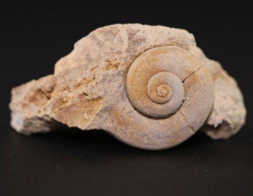 Fossil Gastropod Trochonema beloitense Ordovician Wisconsin COA 3807