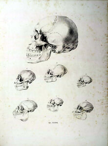 Repro 19th Century Natural History Prints of Ape / Monkey Skulls