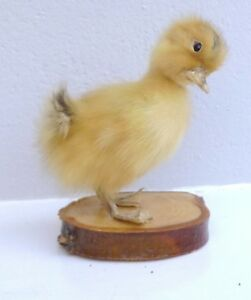 TAXIDERMY-BABY-DUCKLING-ON-WOODEN-BASE-UNUSUAL-WEIRD-STRANGE-STUFFED-DUCKLING