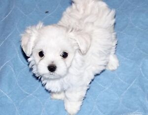 Bichon Maltais femelle Teacup (Pension Puppy Love)