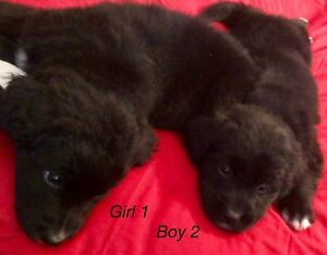 *REDUCED* Bernese goldendoodle puppies Pics @ 6 wks old