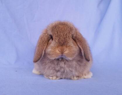 READY NOW! Mini Lop Rabbit Babies - Vaccinated, Purebred