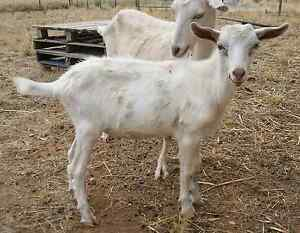 Saanen goat Two Wells Mallala Area Preview