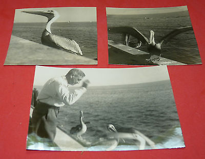 Photograph Key West Florida Man Feeding Seabird Pelican Ocean Bird Vtg Photo