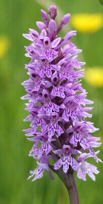 Wild Flower British - Common Spotted Orchid - Dactylorhiza fuchsii -SEED 1000 Common Spotted Orchid