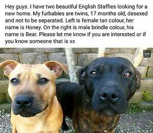 ENGLISH STAFFIES LOOKING FOR ADOPTION Haberfield Ashfield Area Preview