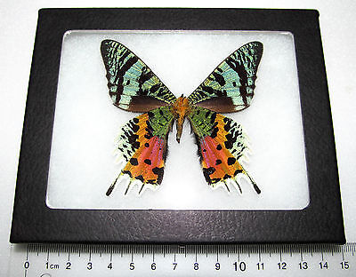 REAL FRAMED MOTH BUTTERFLY MADAGASCAR SUNSET MOTH CHRYSIRIDIA RHIPHEUS VERSO