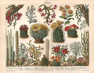 KAKTEEN   Kaktus Fettpflanzen Leuchtenbergia principis Lithographie von 1906