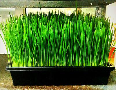 wheat, WHEATGRASS,, catgrass, cat grass, 1/2 lb seeds! GroCo