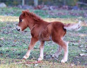 """TINY TINY LITTLE MINIATURE FOAL """" NUGGET"""" $125.00 Week plan only Margaret River Margaret River Area Preview"""