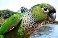 WANT TO BUY BLACK CAP CONURE