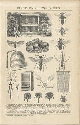 Biene und Bienenzucht Bienenmotte Zelle Drohne Fühler Königin Brockhaus 0028