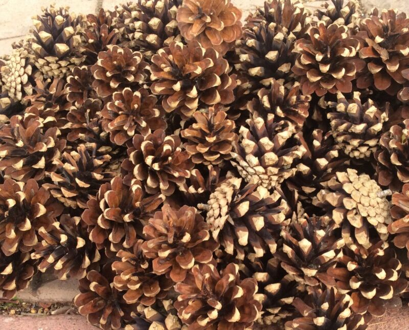 """Lot Of 150 Fresh Colorado Pine Cones For Crafts Decor 1""""- 2.5"""" Rinsed Baked"""