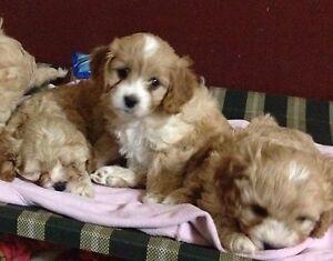 Cavoodle puppies Bridgetown Bridgetown Area Preview