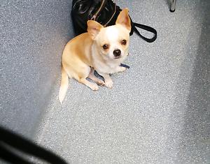 Chihuahua puppies Bundaberg North Bundaberg City Preview