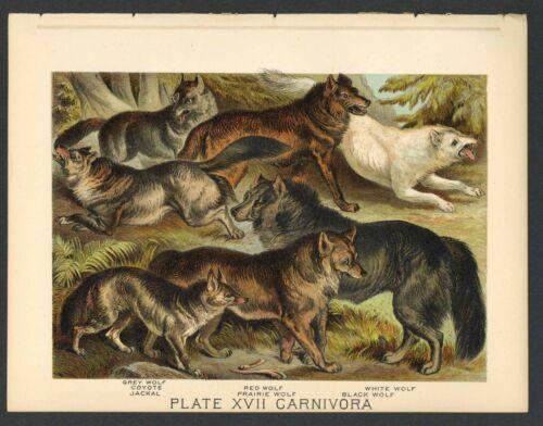 WOLF, COYOTE, JACKAL Vintage 1897 Chromolithograph Print, Antique, 017