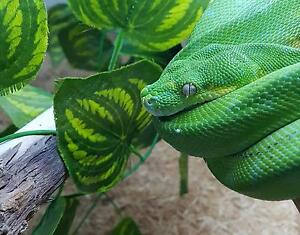 Aussie Green Tree Python 2.5 Years Old Pascoe Vale Moreland Area Preview
