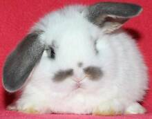 BABY LOPS, DWARFS & REXES(from $20,lots to choose from & CAGES) Clayton Monash Area Preview