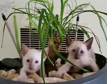 Siamese Brothers South Morang Whittlesea Area Preview