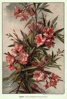Oleander - Strauss,  Original-Farbholzstich von 1896
