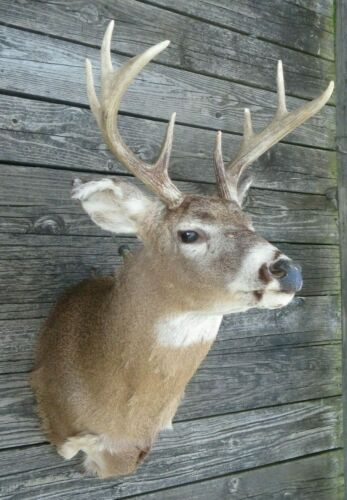 8 point White Tail Deer Head Shoulder Wall Mount Taxidermy
