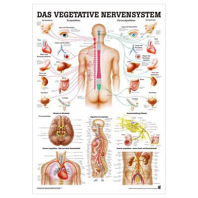 Nerven-system (Vegetatives Nervensystem Lehrtafel Anatomie 100x70 cm medizinische Lehrmittel)