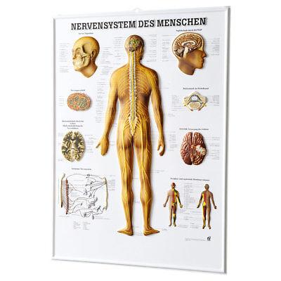 Nerven-system (Nervensystem des Menschen Relieftafel Anatomie 74x54 cm medizinische Lehrmittel)