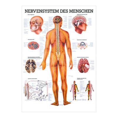 Nerven-system (Nervensystem Mini-Poster Anatomie 34x24 cm medizinische Lehrmittel)