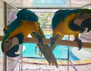 Blue & Gold Macaw Pair ! Tallai Gold Coast City Preview