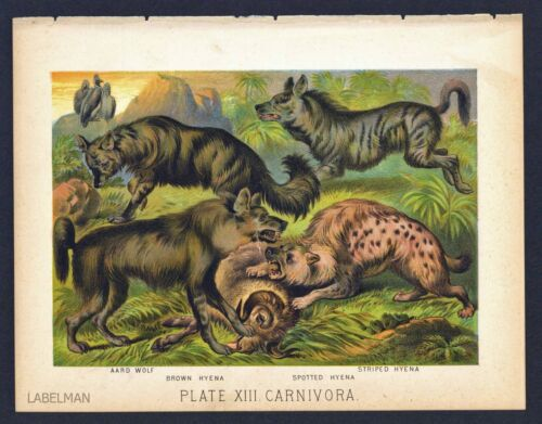 AARD WOLF, BROWN HYENA, Vintage 1897 Chromolithograph Print, Antique, 013