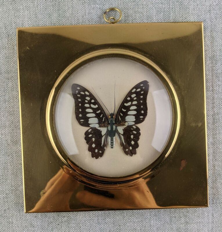 Vintage Framed Butterfly Taxidermy