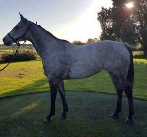 Lovely grey thoroughbred mare Myalup Harvey Area Preview