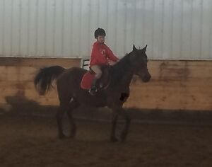 Destiny is a flashy 15hh registered bay Arabian 16 year old mare