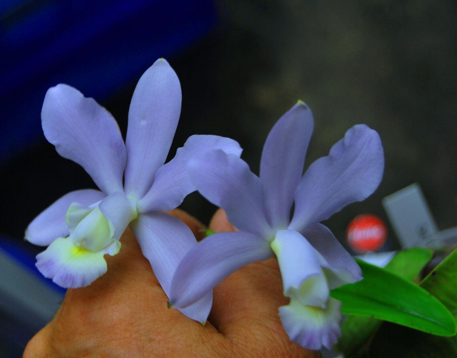 c dolosa coerulea baby flasche becher cattleya orchidee. Black Bedroom Furniture Sets. Home Design Ideas