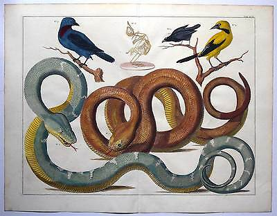 A. Seba 1734-65 Schlangen-Boa-Snake-Vögel Sehr großer Kupferstich - Vogel