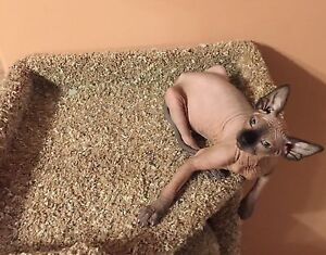 Canadian Hairless Sphynx Kittens