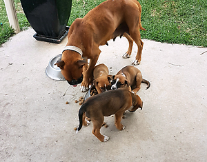 Boxer X puppies for Sale Cranbourne West Casey Area Preview